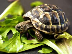 eating-tortoise