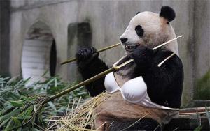 panda-bra