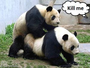 panda-porn