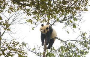 tree-panda