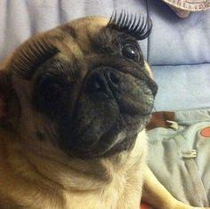 pug lashes